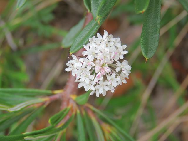 Trachymene incisa subsp. incisa 7