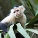 White-faced Capuchin (Tarina Hill)