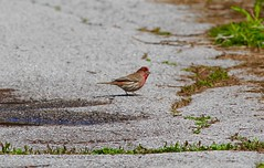 House Finch (Ontario)