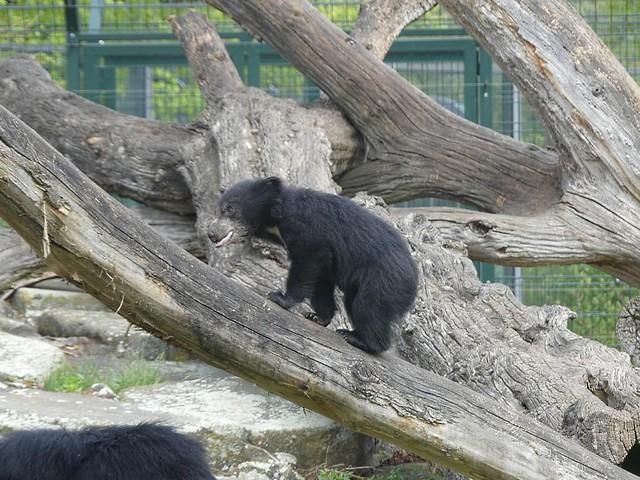Balou, Zoo Berlin