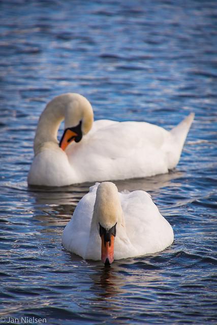 Swans in the bog