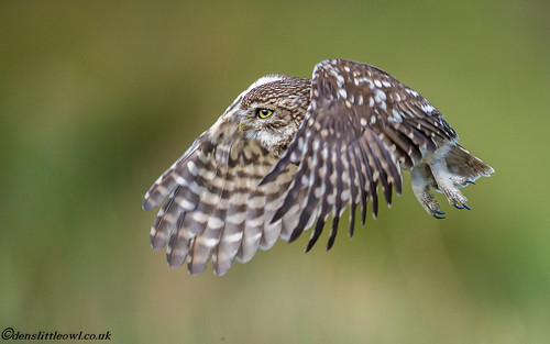 Little owl May 7th (1 of 1)-2