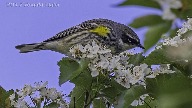 Yellow-rumped Warbler IMG_9174, Canon EOS 60D, Sigma 150-600mm f/5-6.3 DG OS HSM | C