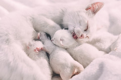 Mother cat caressing her kittens
