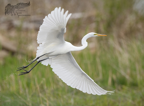 Great Egret 5_9