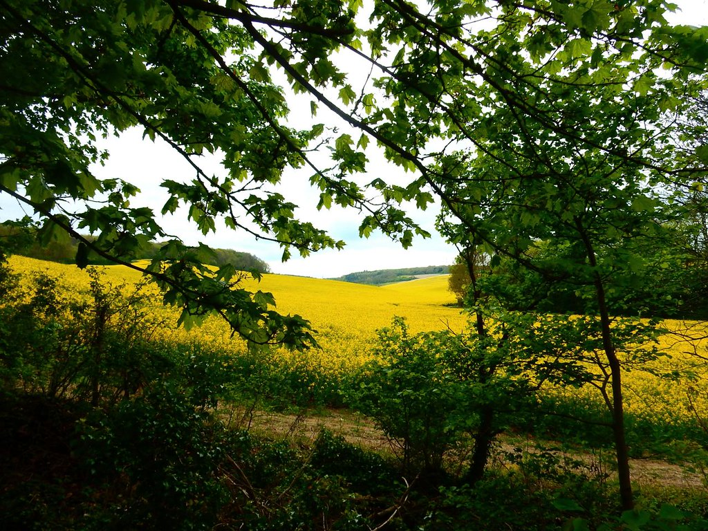 Sea of yellow Cuxton Circular