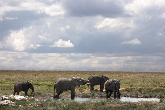 Elephants of the Serengeti