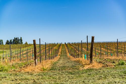 04-Vigne maltraitée aux herbicides !!