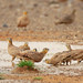 Small photo of Crowned Sandgrouse