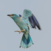 Blue-breasted Roller (Judith Rolfe)