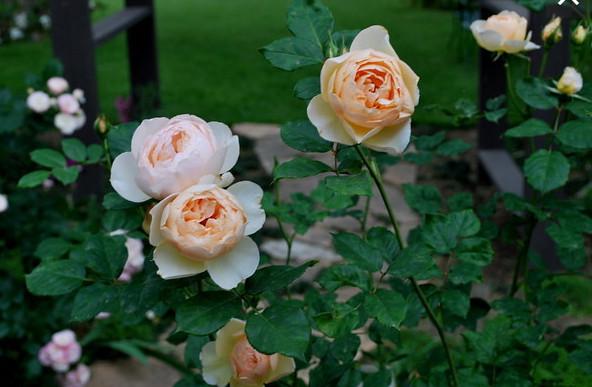 The Shepherdess rose