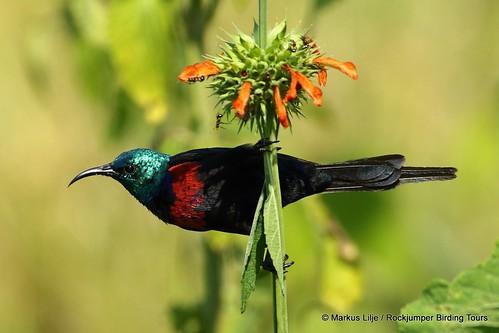 bird birding birds uganda 2016 markuslilje sunbird redchestedsunbird cinnyriserythrocercus flower male breedingplumage leonotis