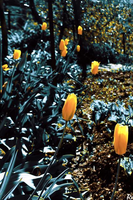 Yellow tulips @springtimebouquet