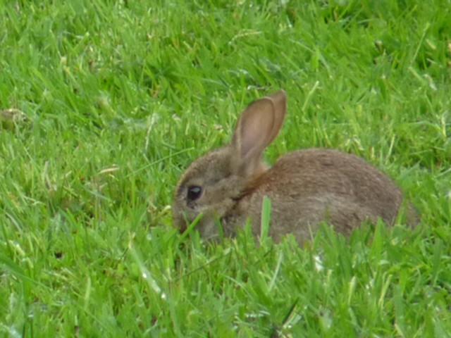 Juvenile wild rabbit, Panasonic DMC-FZ28