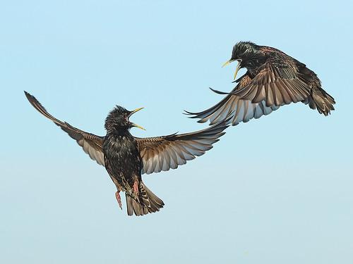 Adult Starlings having a dispute.