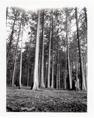 Tall Tree Pinhole