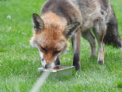 3rd  may 2017 Foxes 009