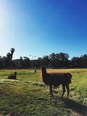 Who let the llamas out??
