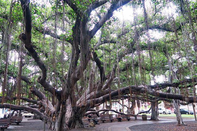 Maui_Banyan Tree Lahaina