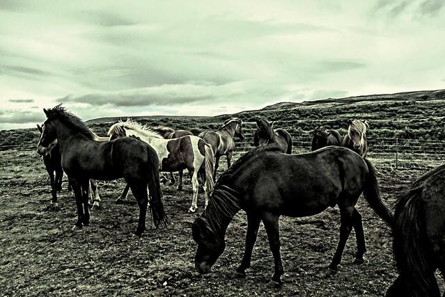 Iceland  ~ Icelandic Horses ~ Attraction Site