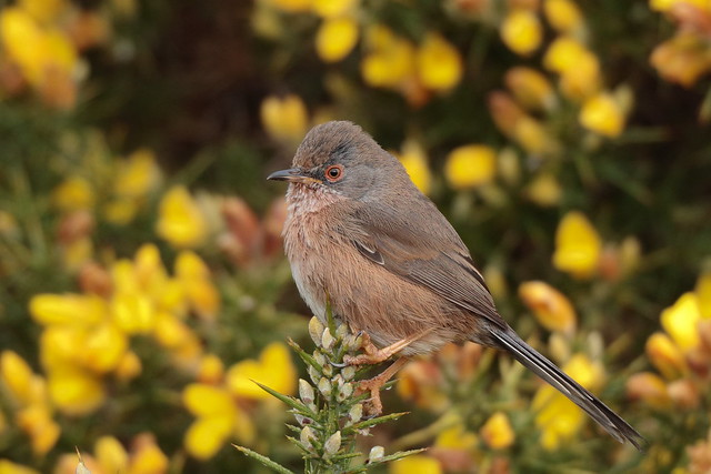 Dartford Warbler female, Canon EOS 5DS R, Canon EF 800mm f/5.6L IS