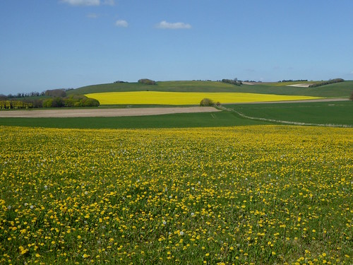 Dandelions and oilseed near Avebury
