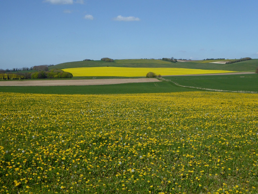 Dandelions and oilseed near Avebury Pewsey to Avebury walk