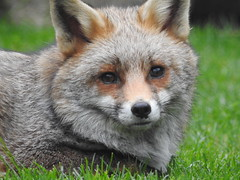 3rd  may 2017 Foxes 051