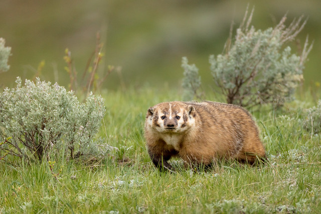 American Badger, Canon EOS 5DS R, Canon EF 800mm f/5.6L IS