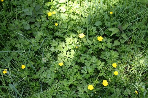 Ranunculus repens - renoncule rampante 34305222035_fe02671cd3