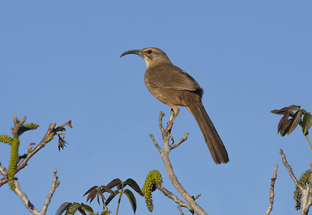 California Thrasher, Nikon D7200, AF-S Nikkor 300mm f/4D IF-ED