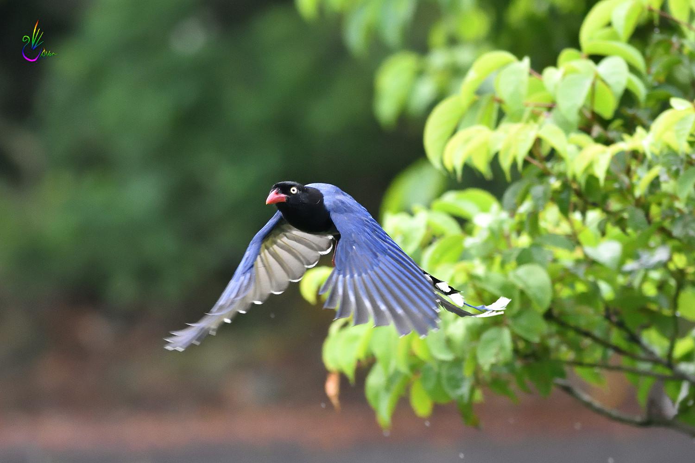 Formosan_Blue_Magpie_5909