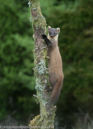 2nd May 2017 Pine Marten wild SW Scotland