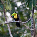 Keel-billed Toucan (Tarina Hill)