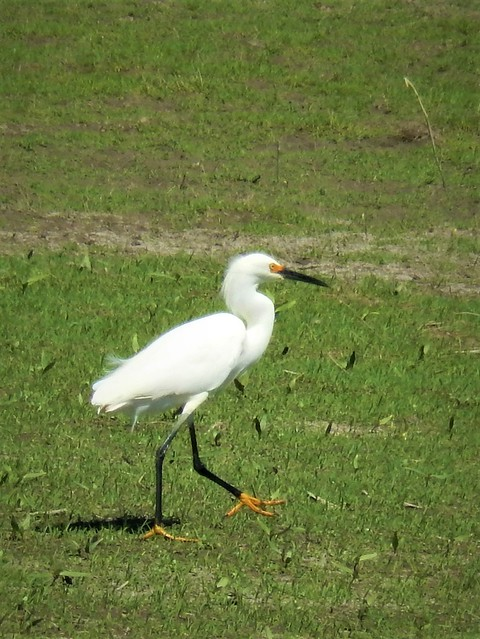 Snowy egret going for, Nikon COOLPIX S9500