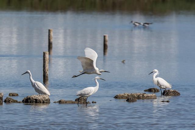 Little egrets, Nikon D7100, Sigma 150-600mm F5-6.3 DG OS HSM | S
