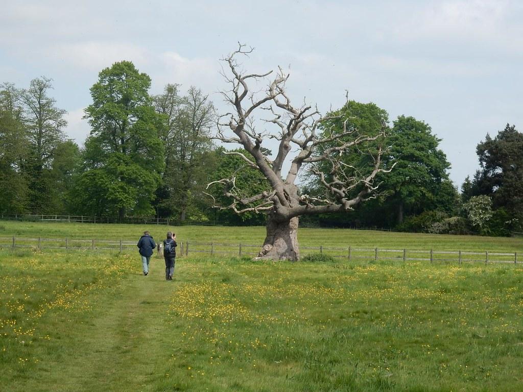 Landmark Tree Near Dedham. Manningtree Circular