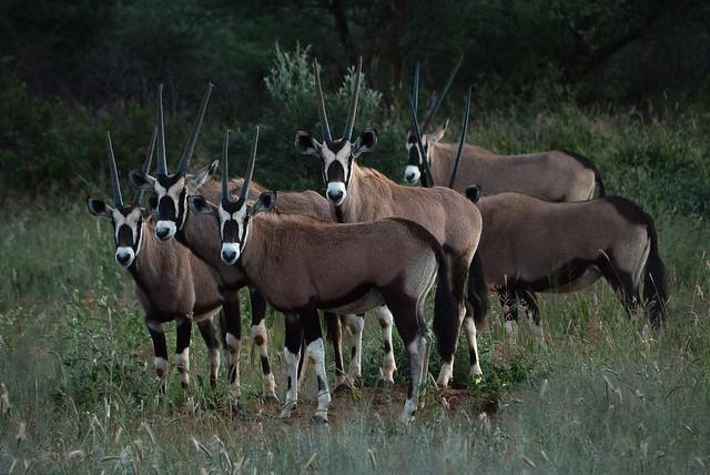 Oryx at Okonjima, Namibia, Nikon D7100, AF-S DX Nikkor 18-300mm f/3.5-6.3G ED VR