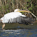 Great White Pelican (Kevin Elsby)