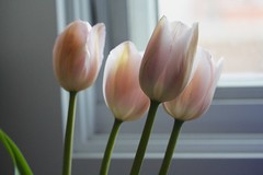 Pink tulips in a row