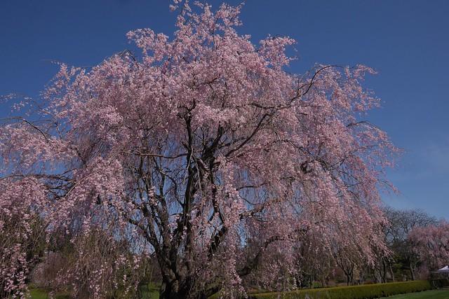 Fri, 2017-04-14 15:37 - New York Botanical Garden (Bronx)