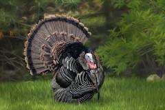 _I4A2982-turkey