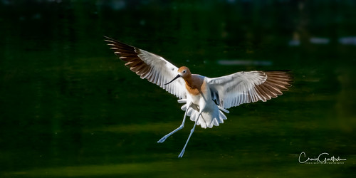 hendersonbirdviewingpreserve2017 avocet bif flying bird avian animal nature wildlife nikon d500