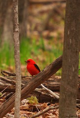 return of the scarlet tanager