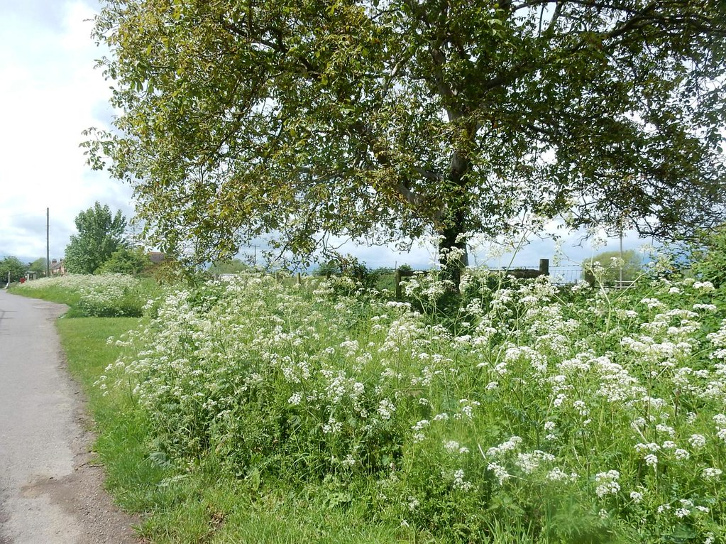Cow parsley Thame Circular
