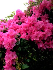 Rhododendron -|- Rhododendron by erlingsi