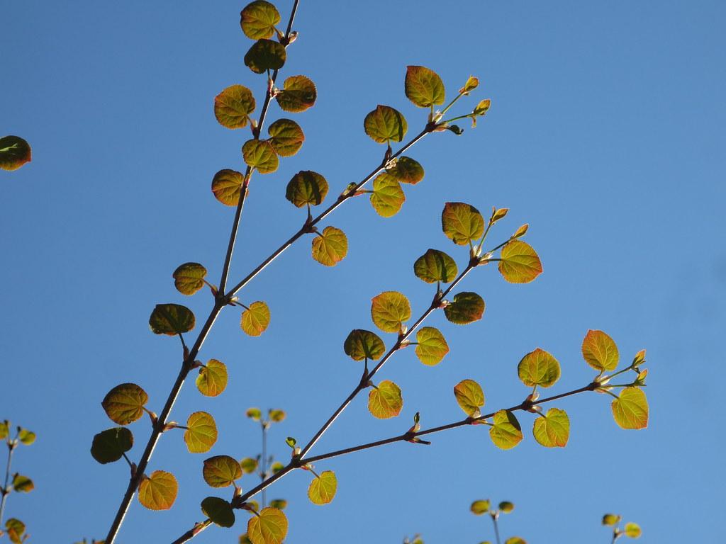Pikkulehtikatsura (Cercidiphyllum japonicum)