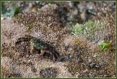 Striped Shore Crab 4364