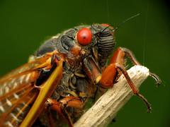Periodical Cicada Close-Up