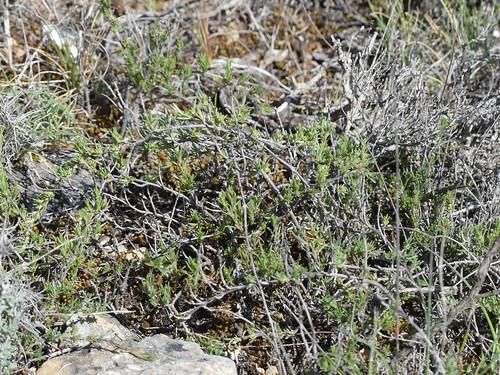 Thymus loscosii